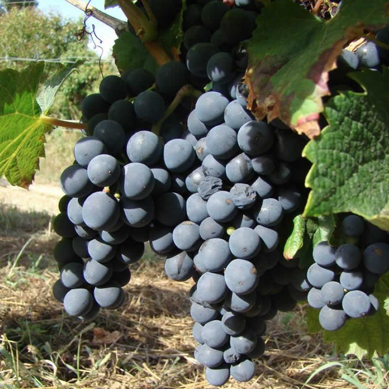Domaine de Bavolier - Raisins