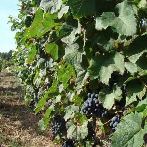 Domaine de Bavolier - Vigne