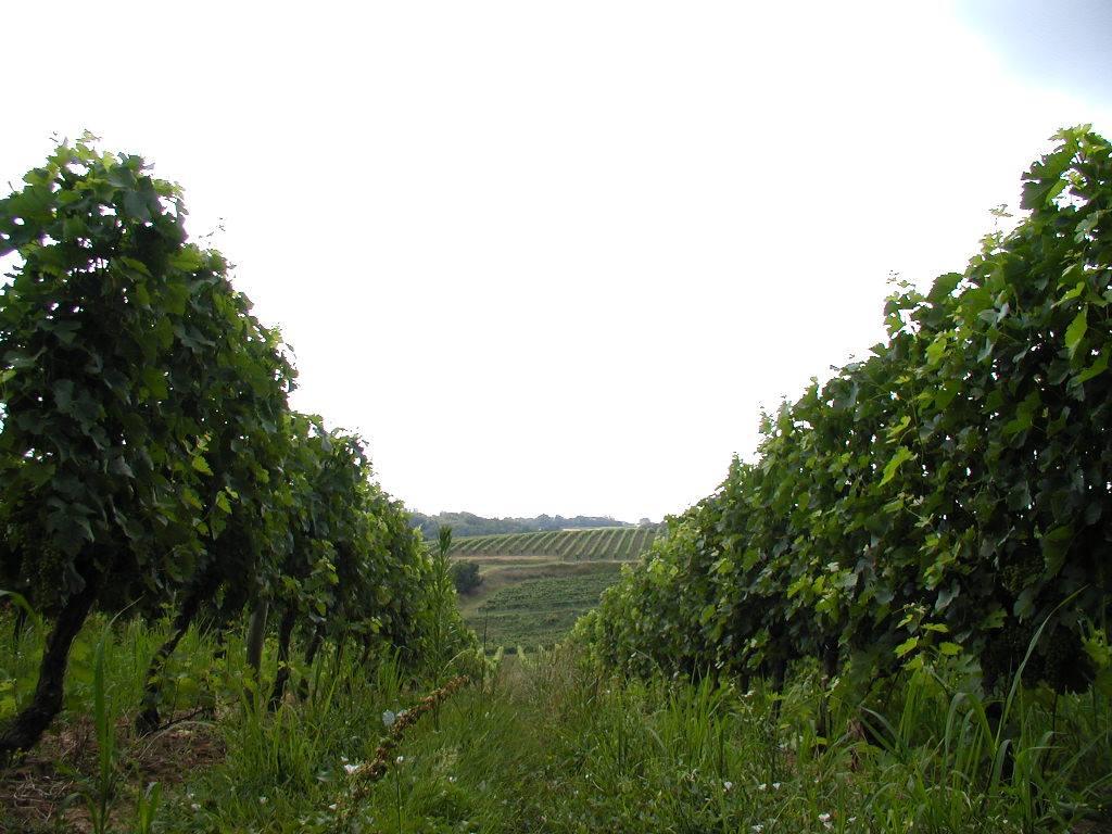 Vignes Château Faugas