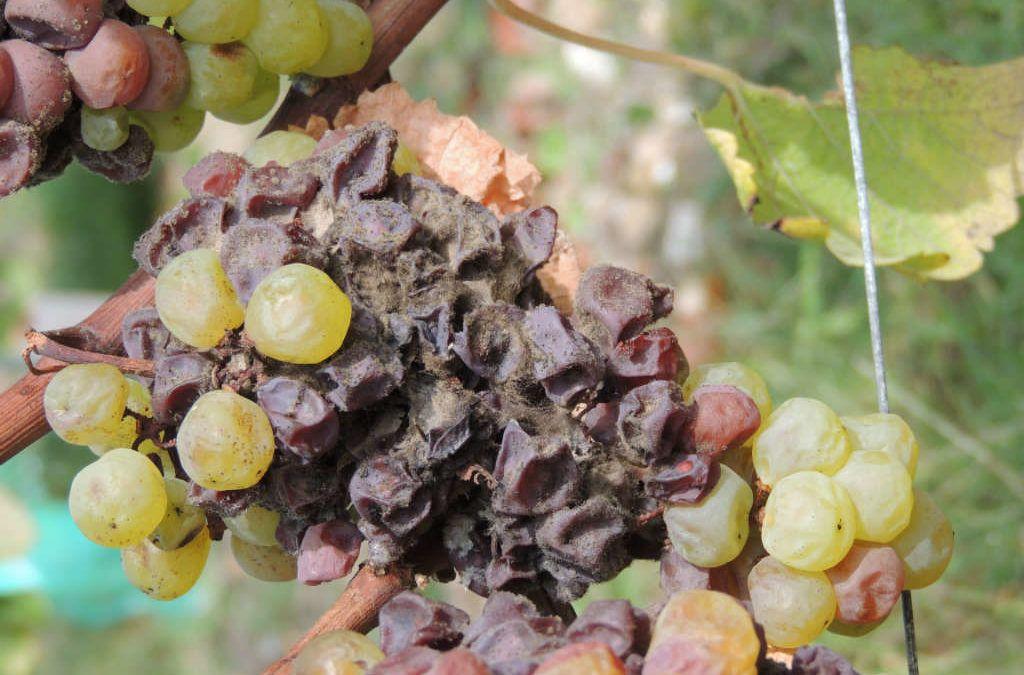 Les vins blancs doux de Bordeaux