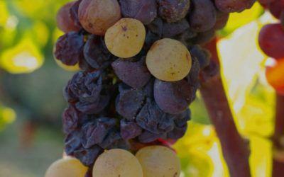 Les vendanges 2018 des vins blancs doux
