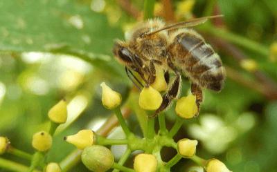 Les abeilles et les vignes : amies ou ennemies ?