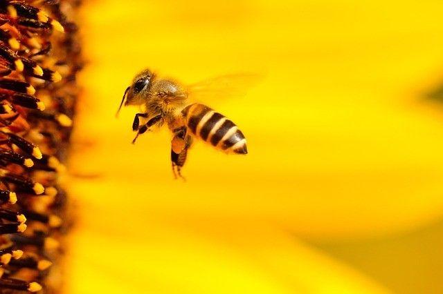 Les abeilles et les vignes